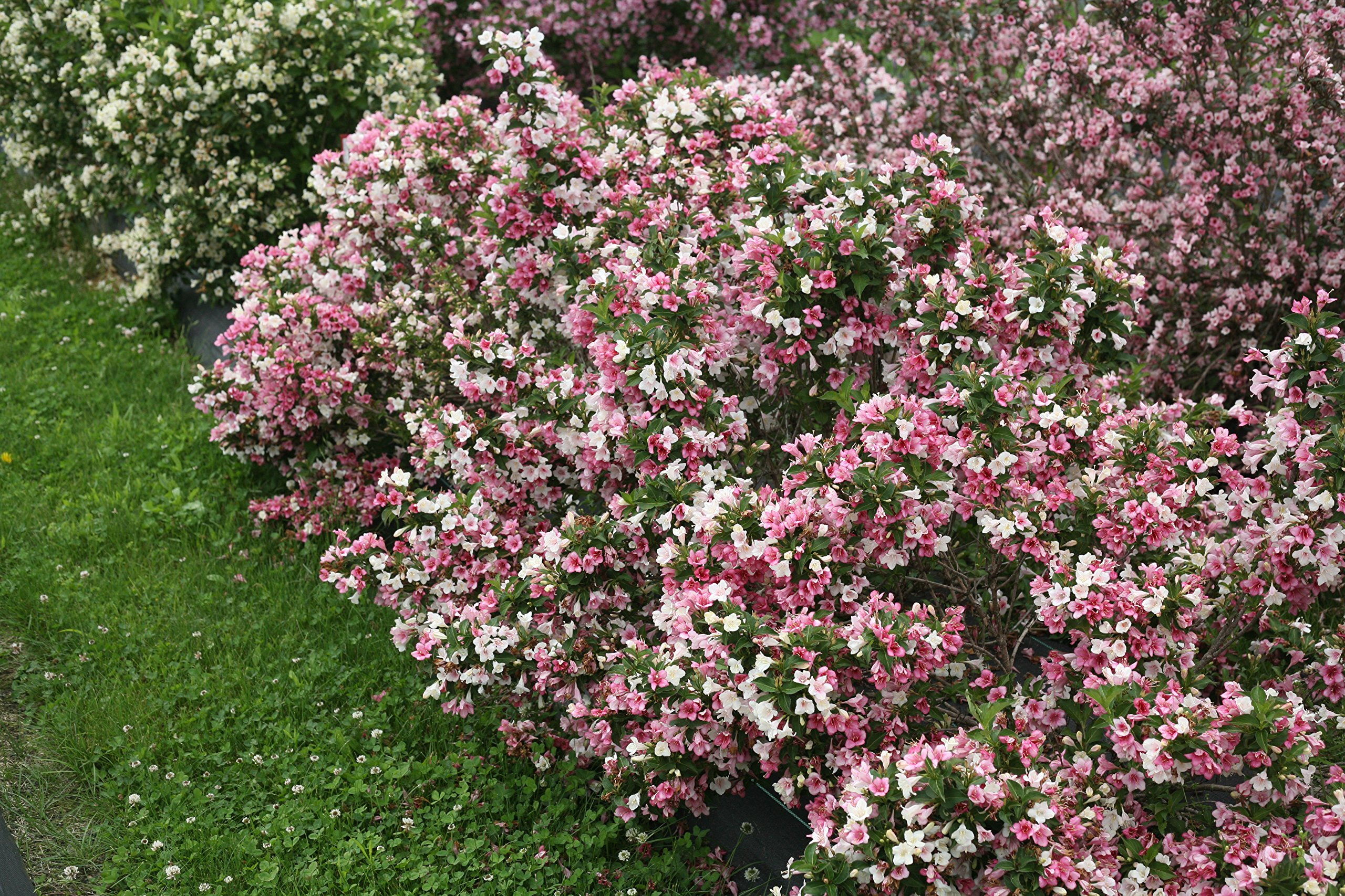 Czechmark Trilogy (Weigela) Live Shrub, White, Pink, and Red Flowers, 1 Gallon by Proven Winners (Image #7)