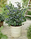 Blueberry Plant  Collection with 3-Varieties in 9cm Pots