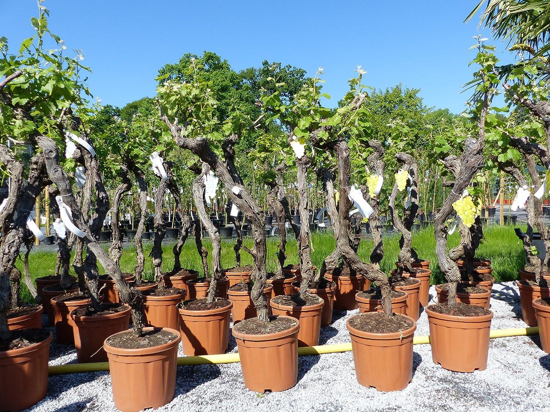 Vitis ViniferaCabernet 130-160 cm knorrige Weinrebe Weinstock Weintraube