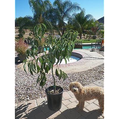 Hass Avocado Tree--Will Arrive Between 3 and 4 Feet Tall : Fruit Plants : Garden & Outdoor