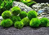 Aquatic Arts 10 Marimo Moss Balls, 1 inch