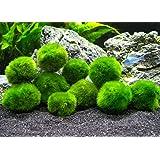 10 Marimo Moss Balls - Aquarium Ball Set, 1 Inch Each. Unique Decor for Aquariums and Glass Jar Terrarium Kits. Natural Habitat / for Live Fish, Pet Shrimp, Sea Monkeys, and more by Aquatic Arts