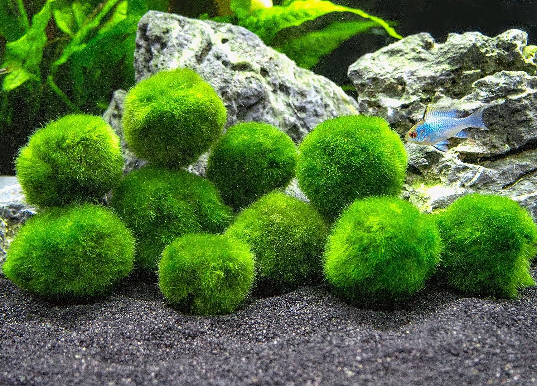 1\ 10 Marimo Moss Balls  Aquarium Ball Set, 1 Inch Each. Unique Decor for Aquariums and Glass Jar Terrarium Kits. Natural Habitat for Live Fish, Pet Shrimp, Sea Monkeys, and More by Aquatic Arts