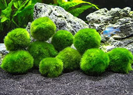 Aquatic Arts 10 Marimo Moss Balls 1 Inch Amazon Co Uk Pet Supplies