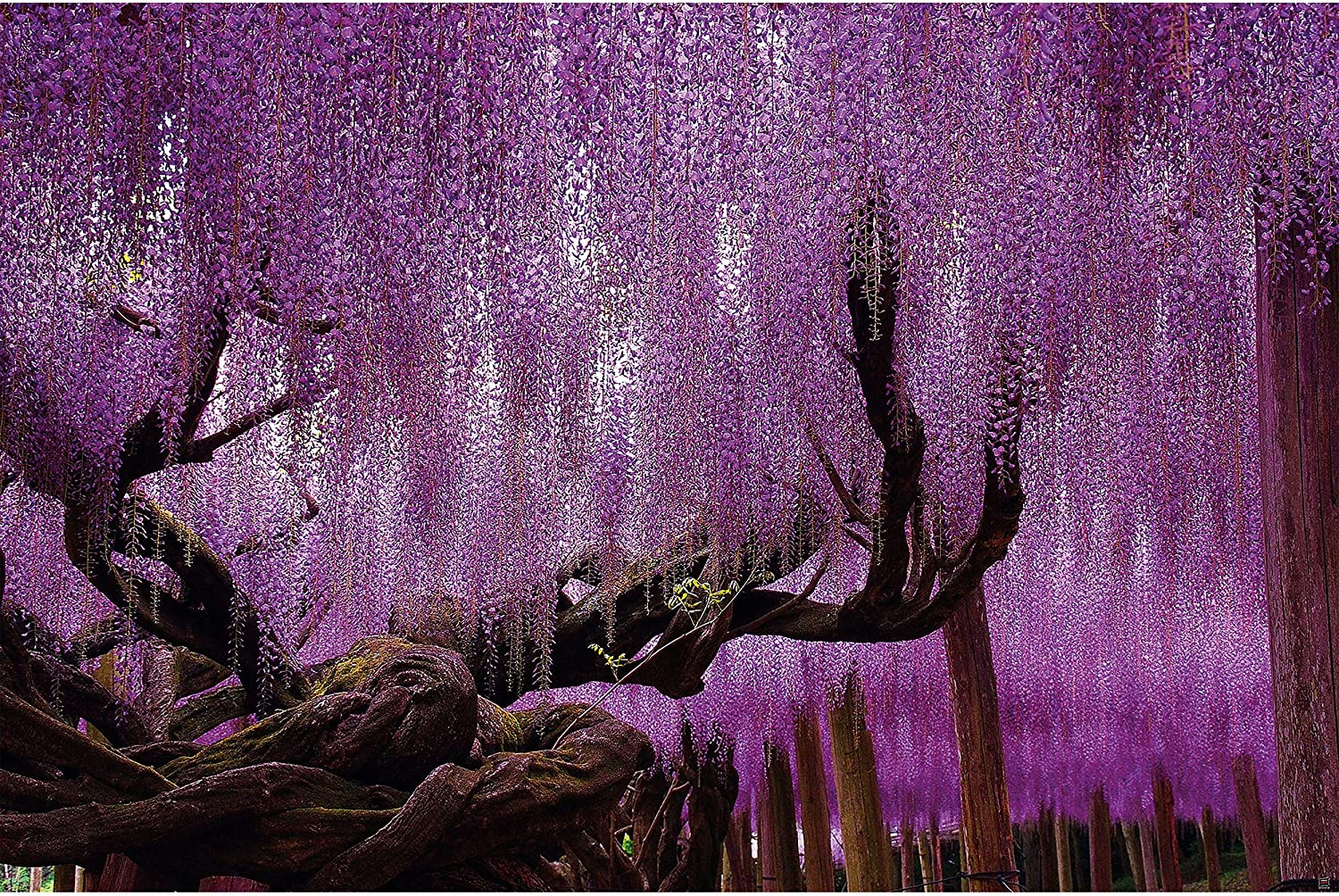 GREAT ART Poster - Wisteria - Purple Wisteria Violet Flowers Landscape Forest Nature Flowers Motif Wisaria Blossom Flowers Garden Decoration Wall Picture Din A2 (42 x 59,4 cm / 16.5 x 23.4 in)