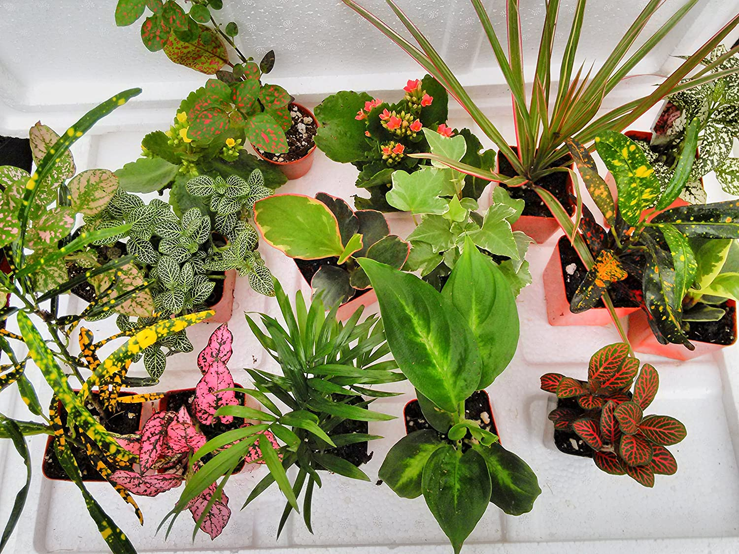 Terrarium Fairy Garden Plants – 6 Plants in 2.5 Is Approximately 4 to 6 Inches Height of the Plant