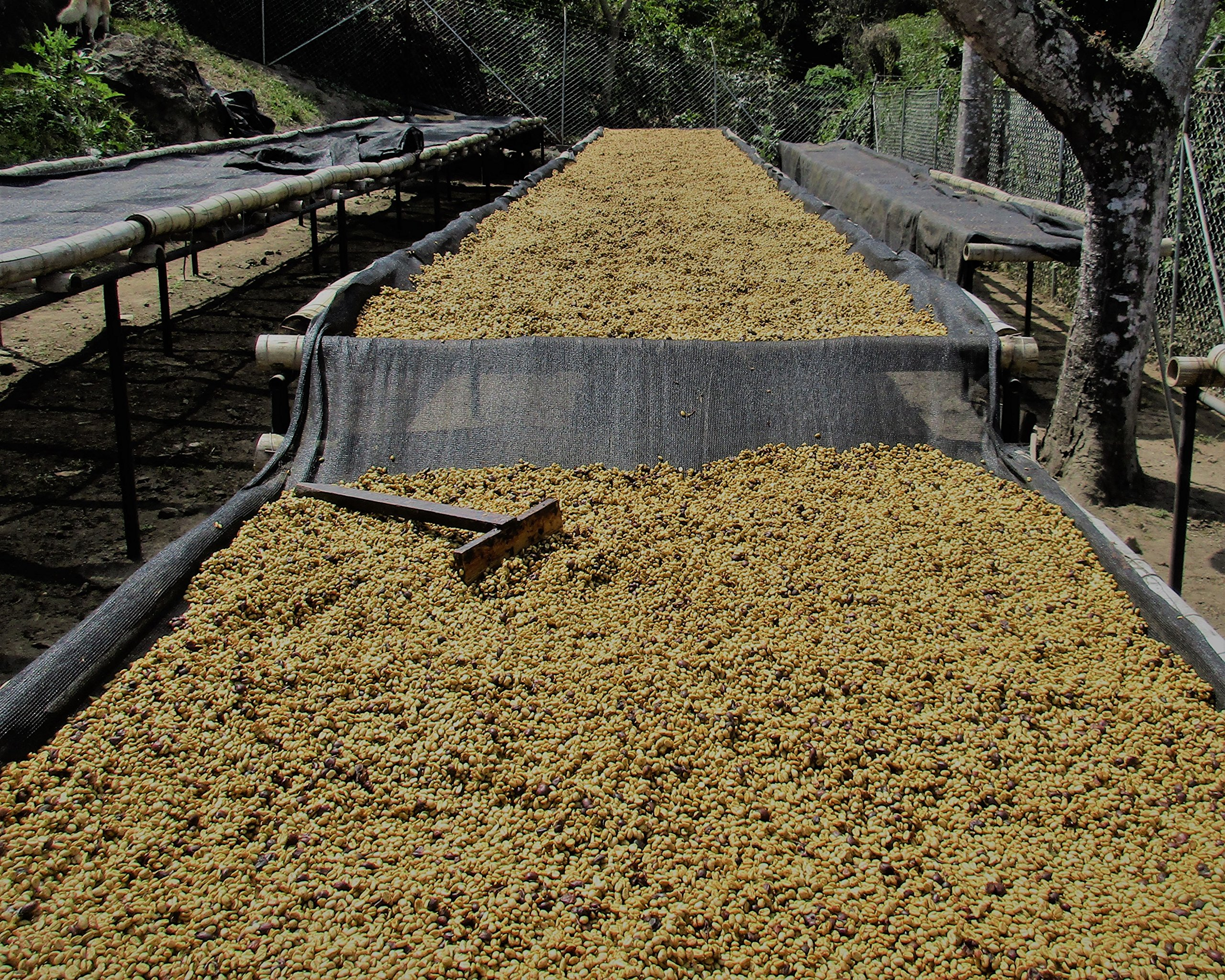El Salvador Colomba Honey #16 (5 LB) Unroasted Green Coffee Beans for Roasting - Raw Specialty Arabica Coffee