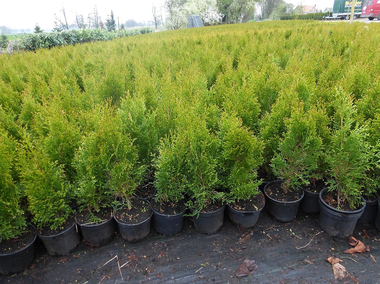Thuja Lebensbaum Smaragd Topfballen 50-60 cm 50 St. Hecke Heckenpflanze