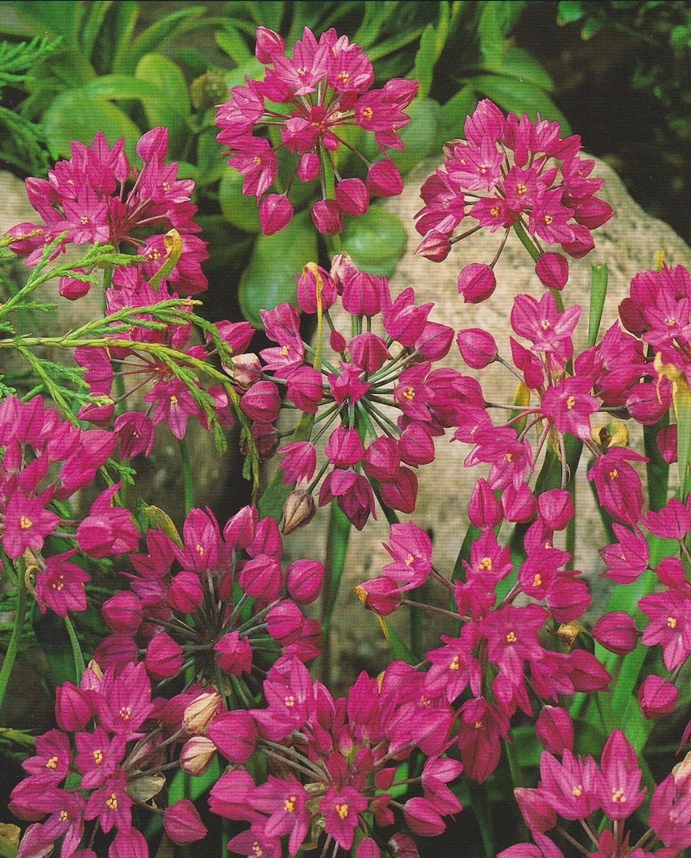 50 Allium oreophilum Zierlauch Blumenzwiebeln Blumenhandel Ullrich