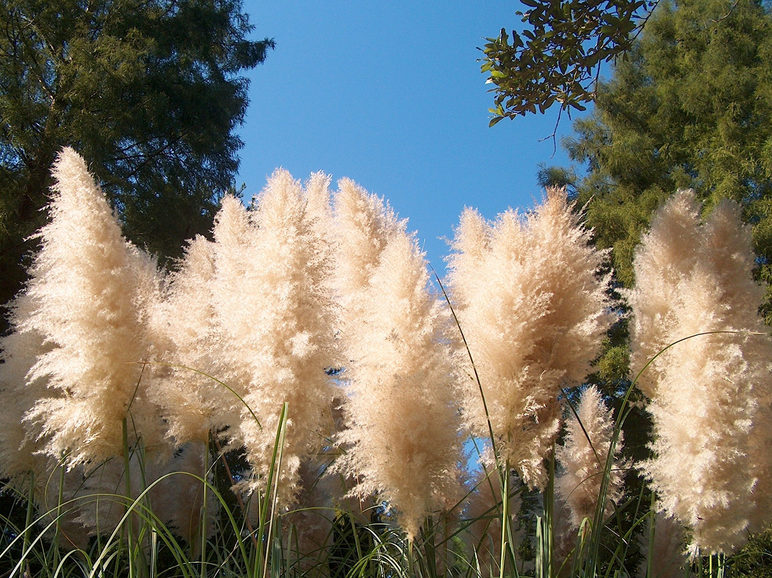 Pampas Grass Qty 15 Live Plants Cortaderia Selloana Showy Blooms by Florida Foliage