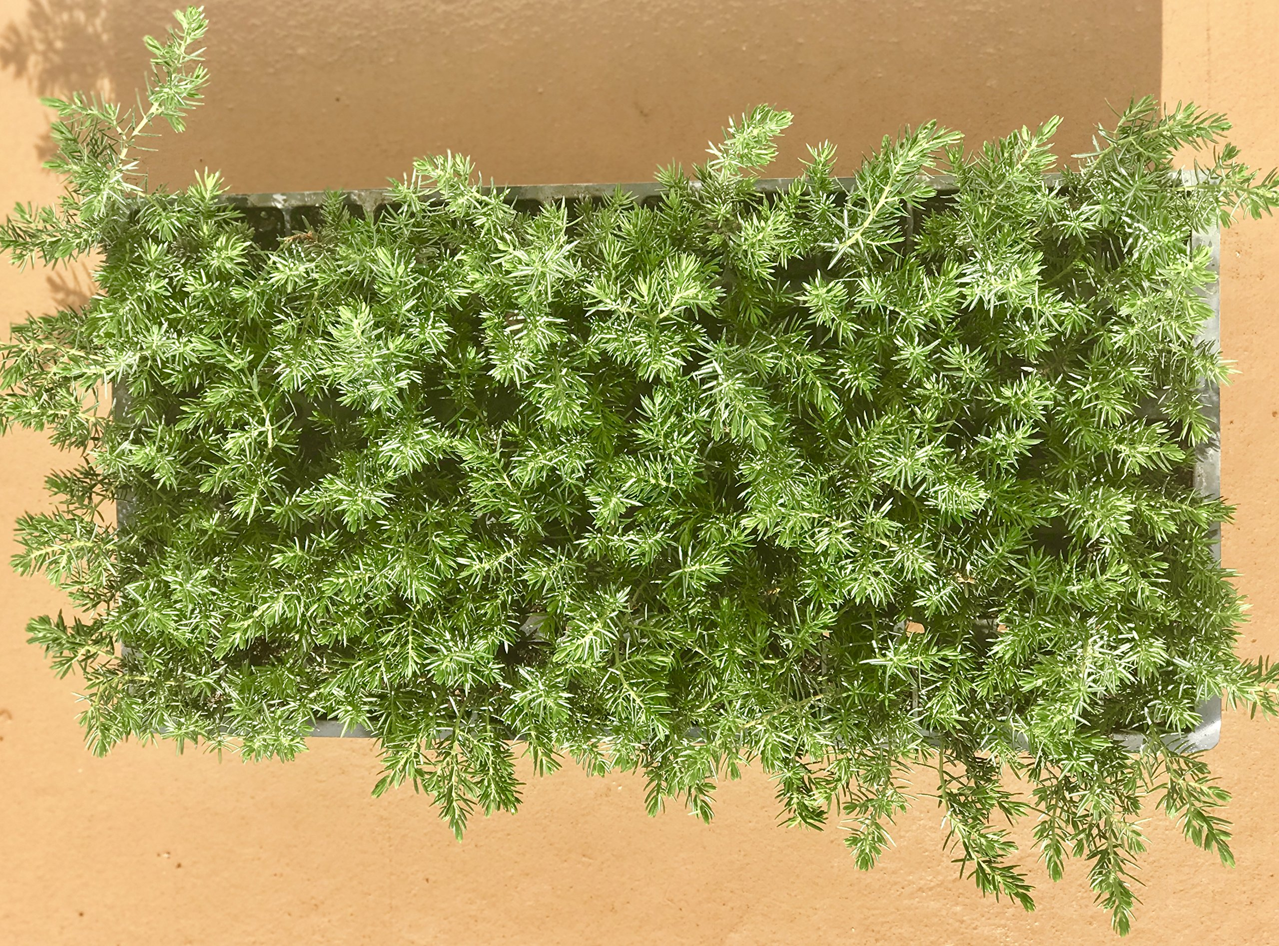 Juniper Blue Pacific Qty 30 Live Plants Evergreen Ground Cover 'Shore Juniper' by Florida Foliage (Image #5)
