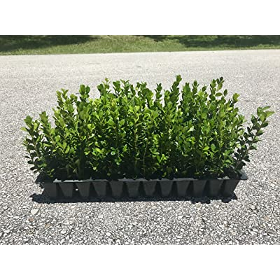 Winter Gem Boxwood Qty 15 Live Plants Evergreen Formal Hedge : Garden & Outdoor