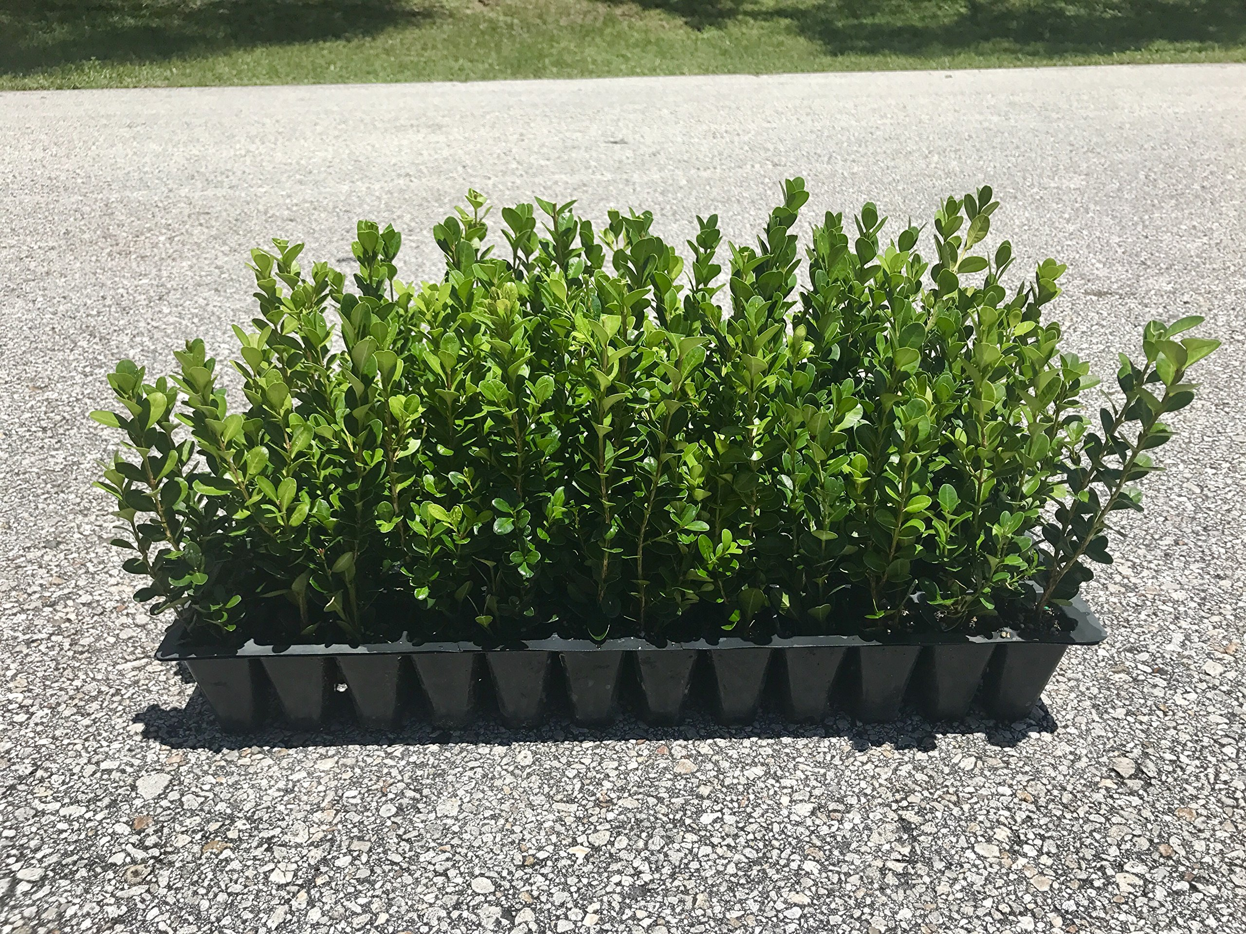 Winter Gem Korean Boxwood Qty 60 Live Plants Fast Growing Cold Hardy Evergreen by Florida Foliage