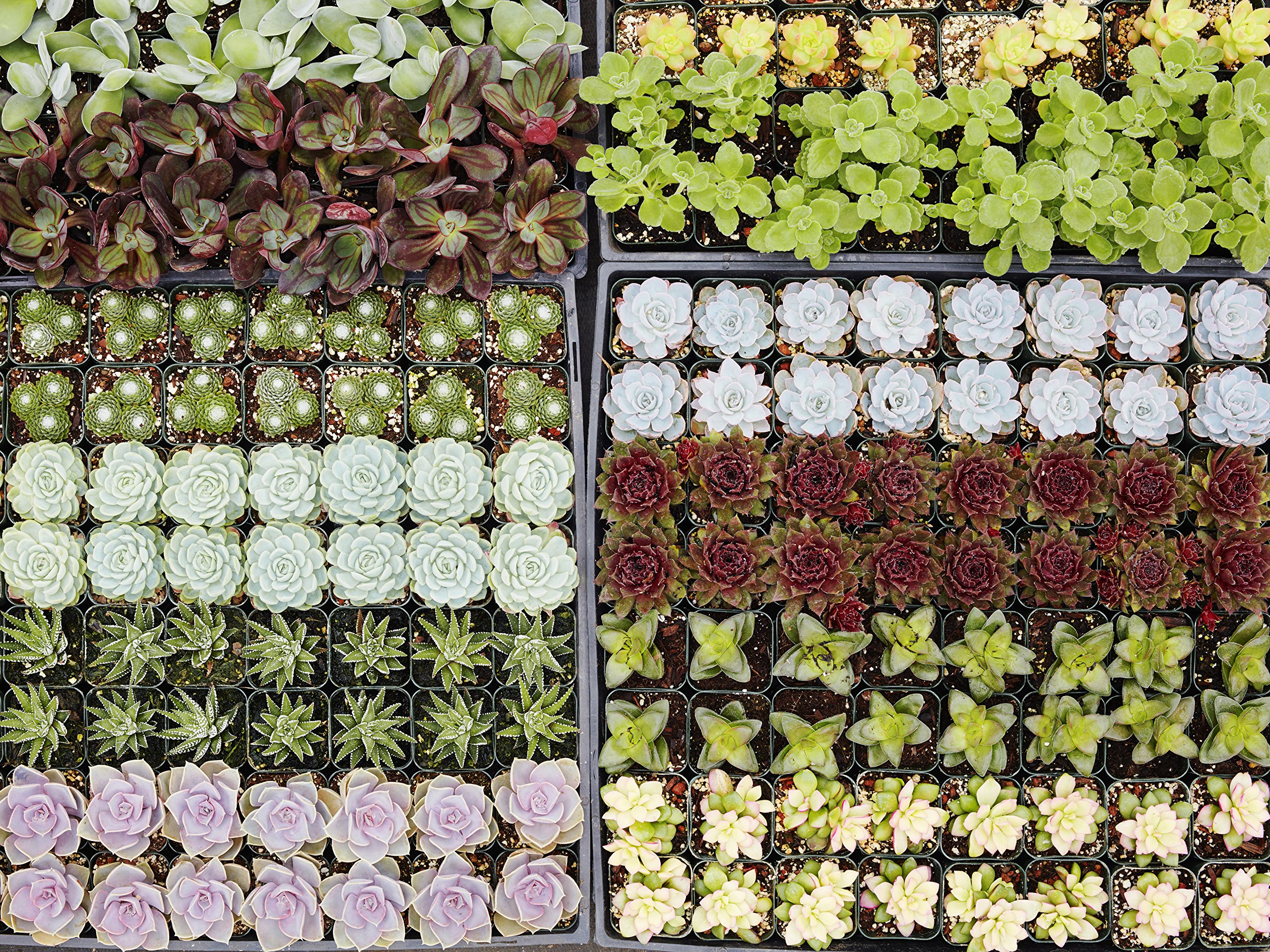 Succulent Gardens Assorted Small Succulents-Sixty Four, 2'', Multicolor