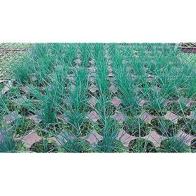 Boulder Blue Ornamental Grass 50 Plant Flat : Garden & Outdoor