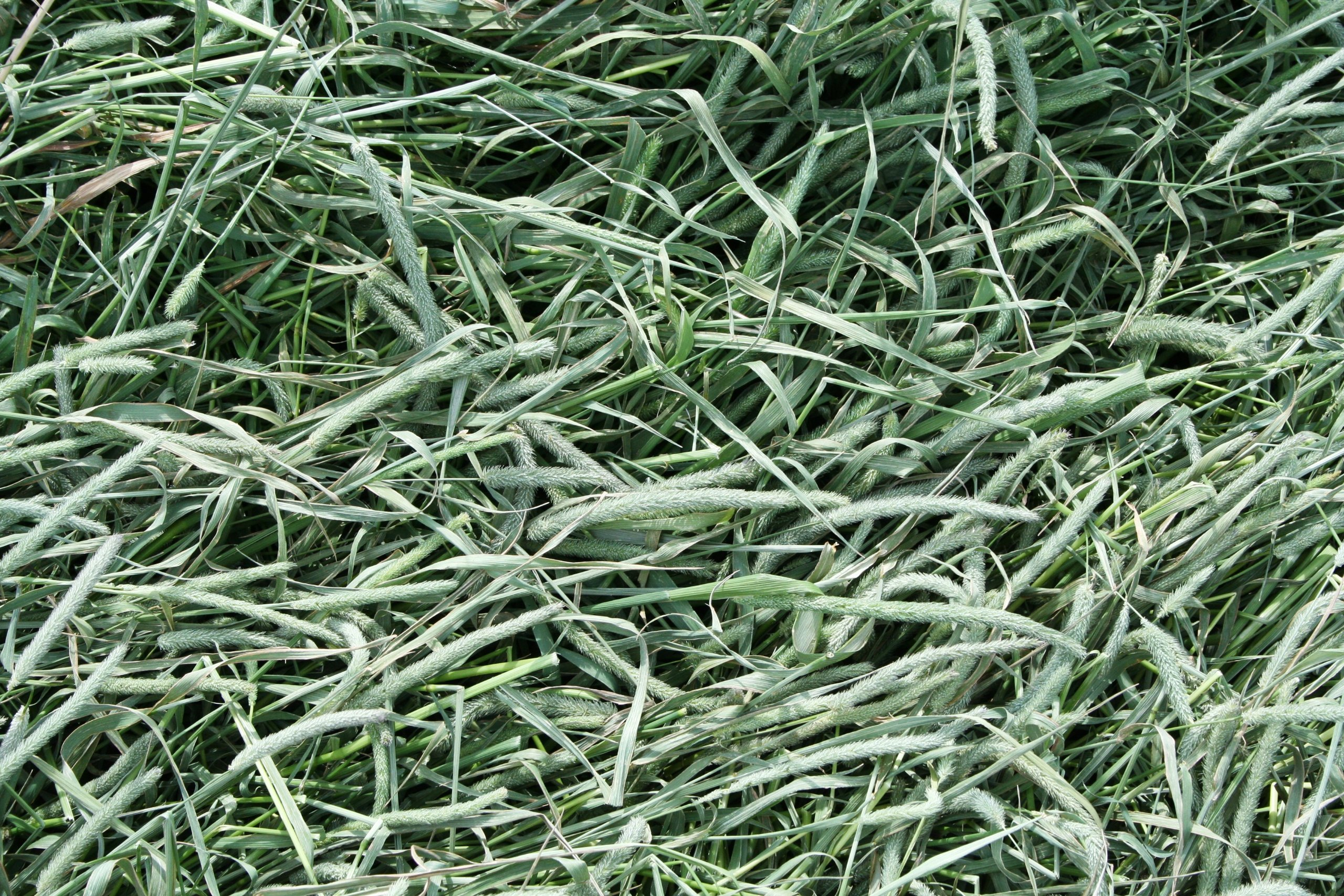 Standlee Premium Western Forage Timothy Grass, 25Lb Box by Standlee Hay Company (Image #2)