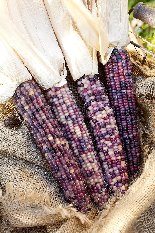 Amazon.com : Amethyst Dream Purple Glass Gem Cherokee Indian Corn Heirloom  Premium Seed Packet + More : Garden U0026 Outdoor
