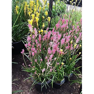 Kangaroo Paw (Pink) aka Anigozanthus Flav. 'Kanga Pink' Live plant - Fit 1 Gal pot - w FREE GIFT per request - From Bellacia Garden : Garden & Outdoor
