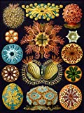 NATURE ART HAECKEL ERNST PLANKTON SEA BIOLOGY GERMANY VINTAGE POSTER PRINT 12x16 inch 30x40cm 877PY by Wee Blue Coo Prints