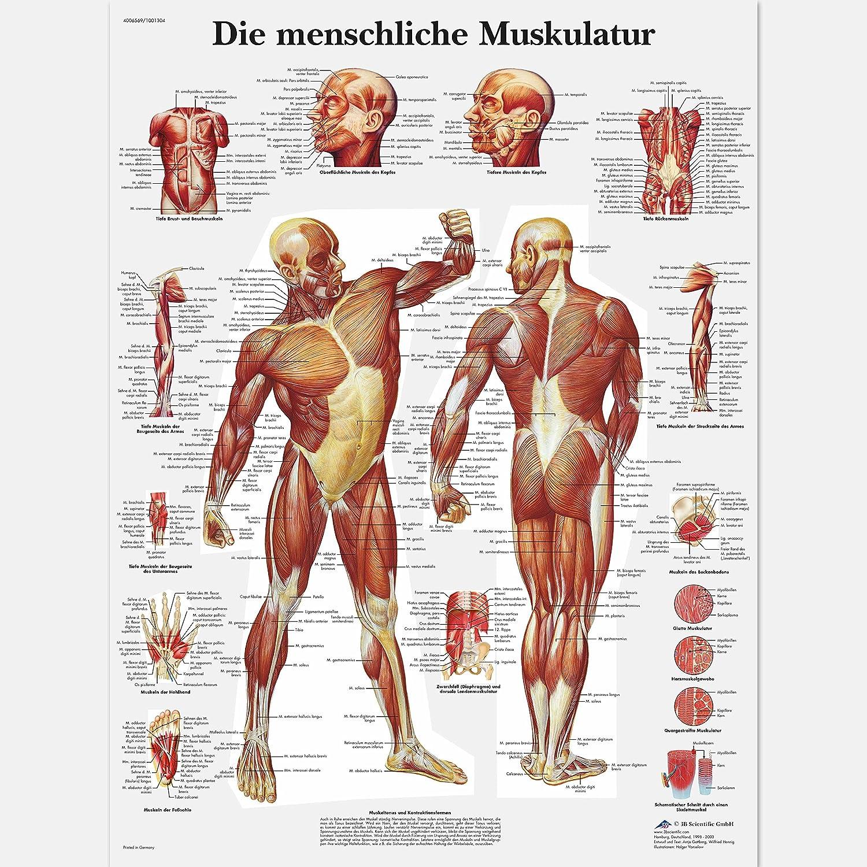 3B Scientific Lehrtafel laminiert - Die menschliche Muskulatur ...