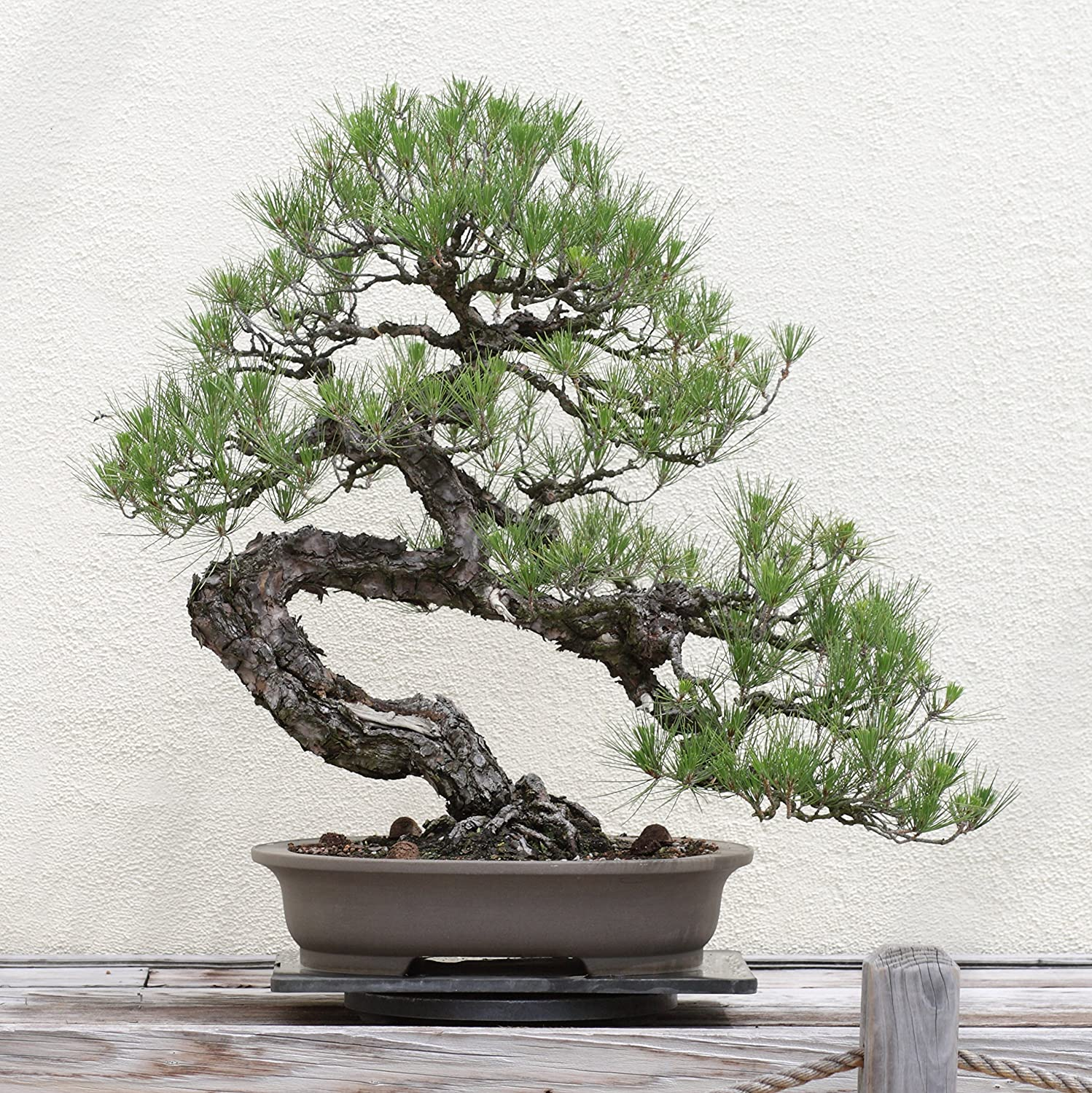 Amazon Com Bonsai Tree Japanese Black Pine Seed Grow Kit The Jonsteen Company Garden Outdoor