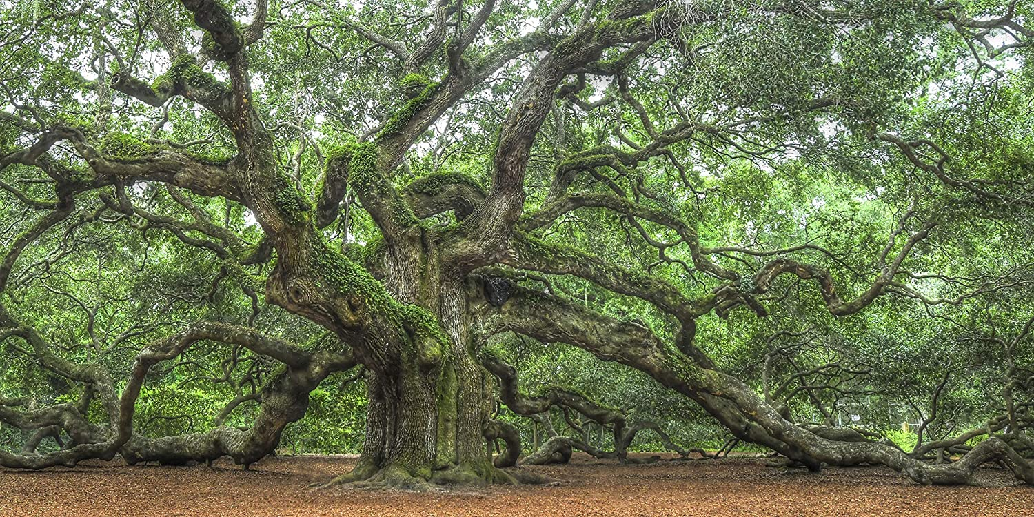 Amazon Com Angel Oak Famous Tree On Johns Island Charleston South Carolina Low Country Fine Art Landscape Photographs Home Decor Pictures For Living Room Bedroom Office Handmade