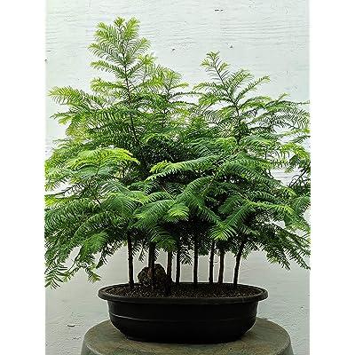 Redwood Forest Specimen Bonsai Tree: Garden & Outdoor