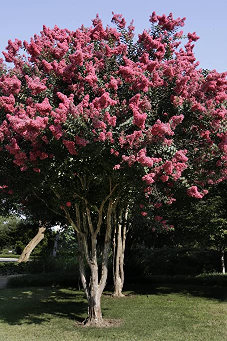 Amazon large osage crape myrtle 2 4ft tall when shipped large osage crape myrtle 2 4ft tall when shipped matures 16ft 1 mightylinksfo