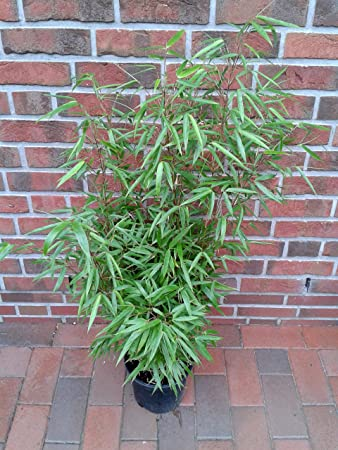 3 Stuck Bambus Fargesia Rufa Hohe 90 100 Cm Winterhart Und
