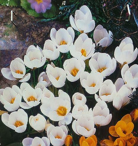 Snowbunting Crocus Bulbs White Spring Flowers 100 Amazon Co Uk Garden Outdoors
