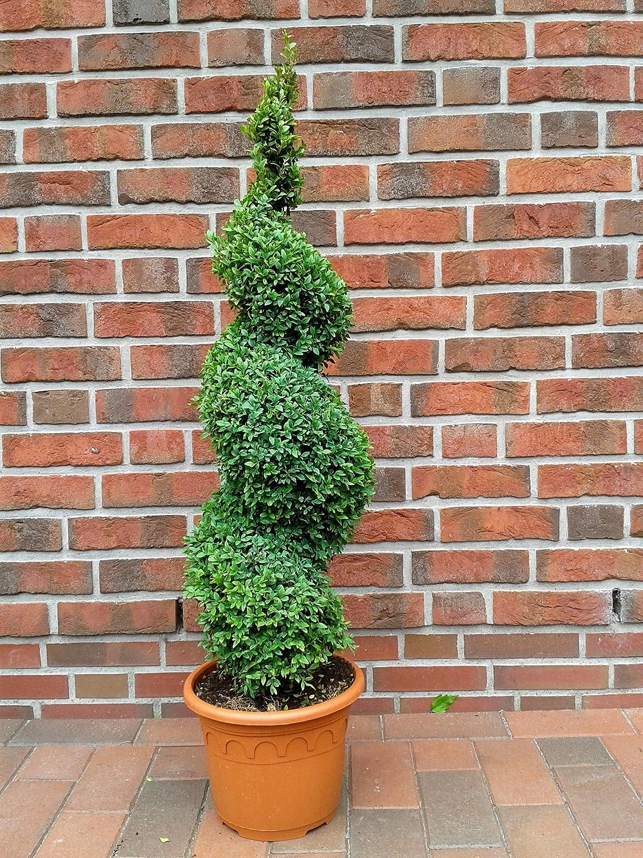 2 Buchsbaum Spiralen, Höhe: 110-120 cm, Bonsai, Buxus Formschnitt !
