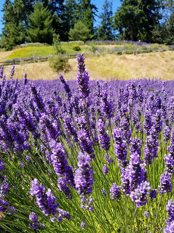 Amazon Com Findlavender Provence French Lavender Potted