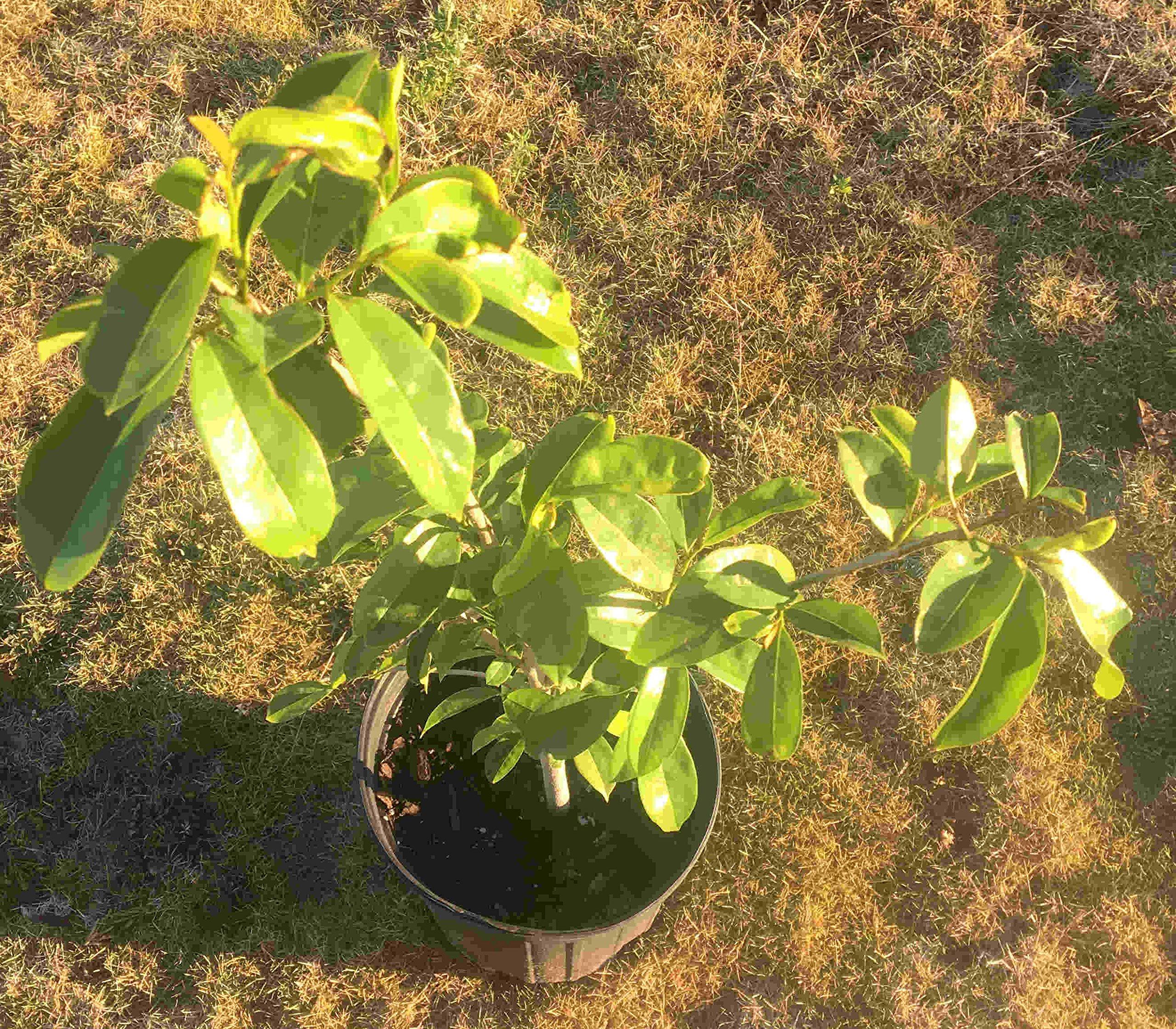 Soursop Guanabana Fruit Tree 2 Feet Tall, No Ship to CA, TX, AZ by SOURSOP (Image #1)