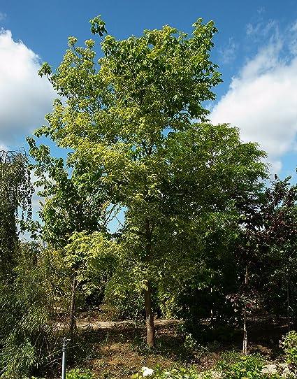 Amazoncom 5 Seeds Acer Negundo Boxelder Maple Tree Seed Garden