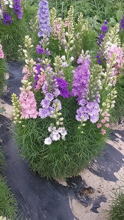 amazon com dwarf delphinium mixed colors larkspur flower plants