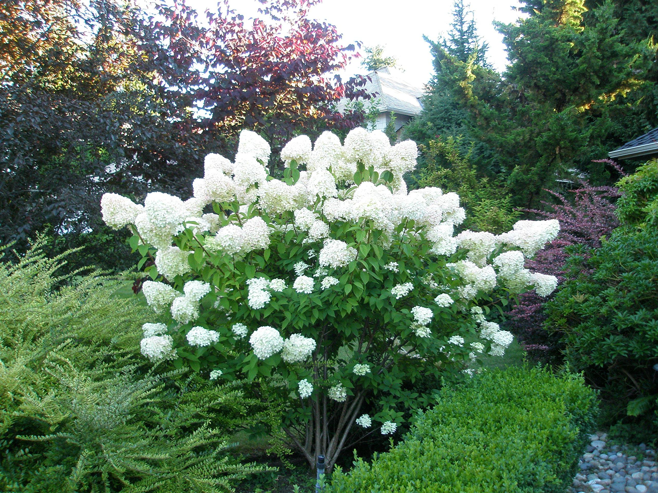 Limelight Hydrangea - Live Plants Shipped 1-2 Feet Tall by DAS Farms (No California)
