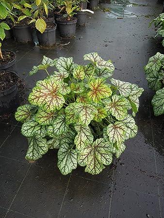 Garten Purpurglockchen Green Spice Bodendecker Weiss Bluhend Staude