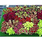 Coleus - Rainbow New Masterblend - 50 Seeds