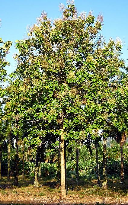 Amazon Com 10 Teak Wood Tree Seeds Tectona Grandis Teak