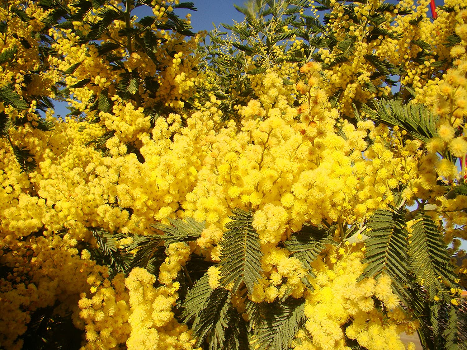 Silver Wattle Or Mimosa Acacia Dealbata Young Plant Masses Of