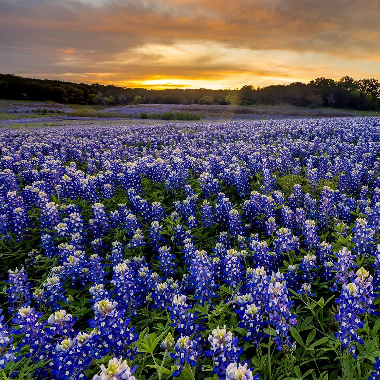 Amazon Outsidepride Texas Bluebonnet Seed 500 Seeds Garden