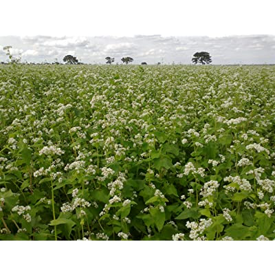 OrOlam Buckwheat Seeds 1 lb Bulk Forage Food Plot Unhulled Cover Crop Whitetail Deer Green Goose Honey Bee Sprouts : Garden & Outdoor
