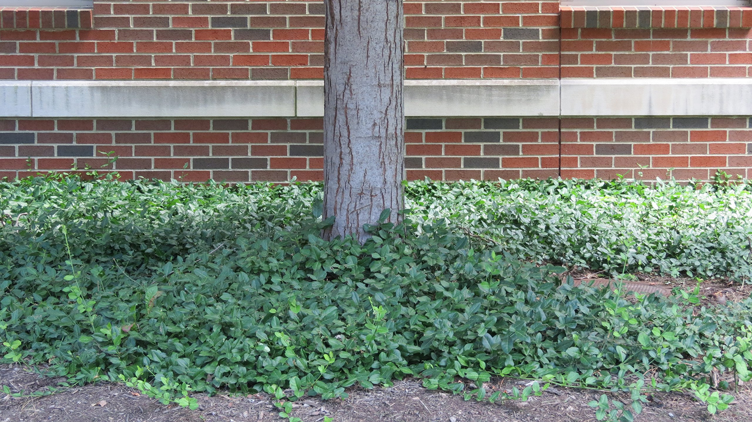 Purple Leaf Wintercreeper Euonymus fortunei 'Coloratus' Groundcover - 200 Bare Root Plants