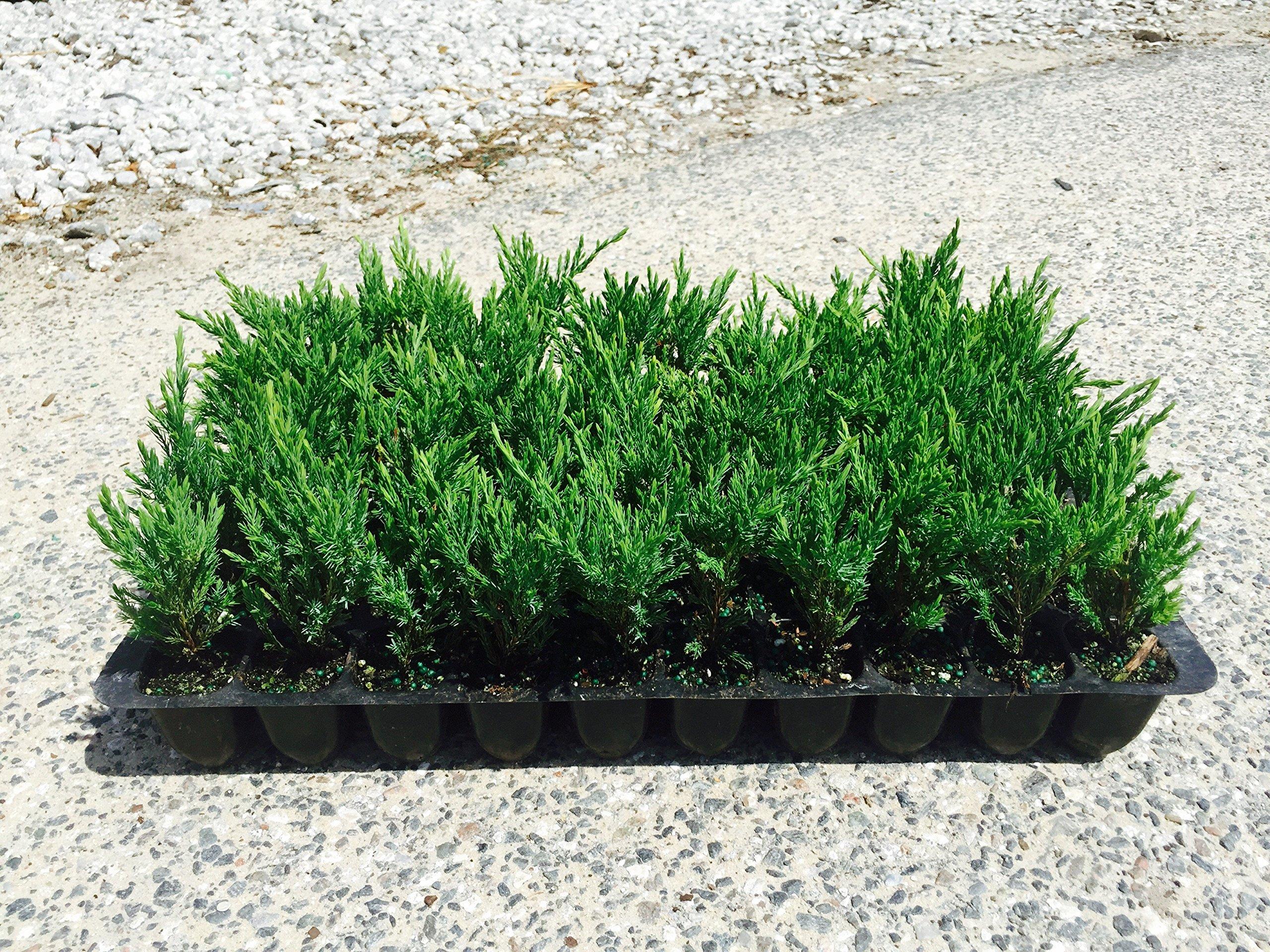 Andorra Compacta Juniper Qty 60 Live Plants Evergreen Ground Cover