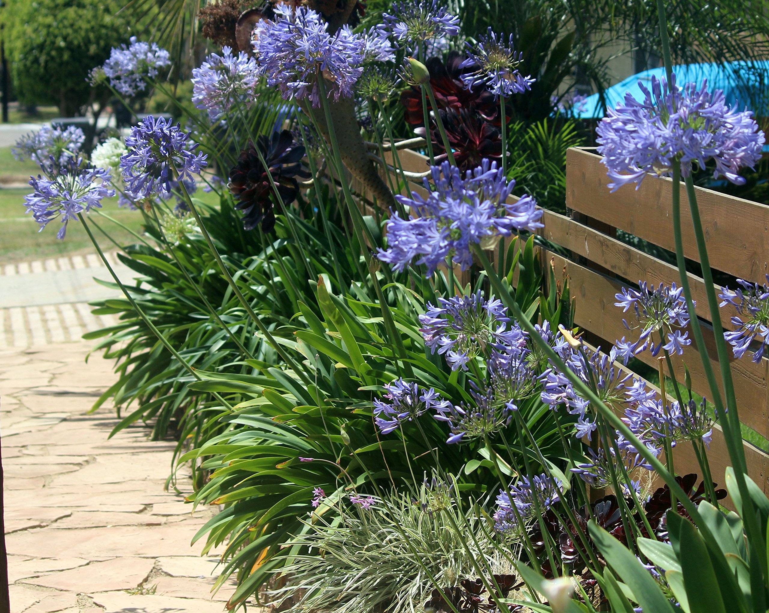 Agapanthus Lily of the Nile Qty 60 Live Plants Groundcover by Florida Foliage (Image #5)