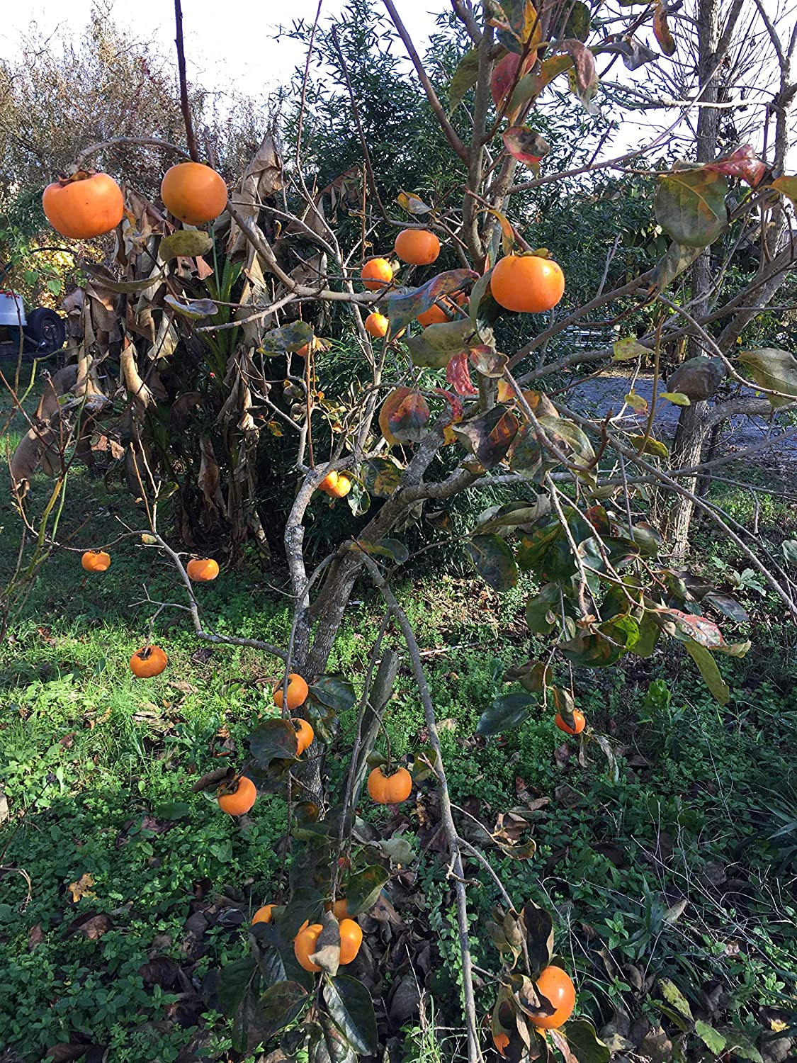 Diospyros Kaki Persimmon Giant Hanafuyu Seeds by Robsrareandgiantseeds UPC0764425786115 Non-GMO,Organic,Historic Plants,1033 Package of 4 Seeds