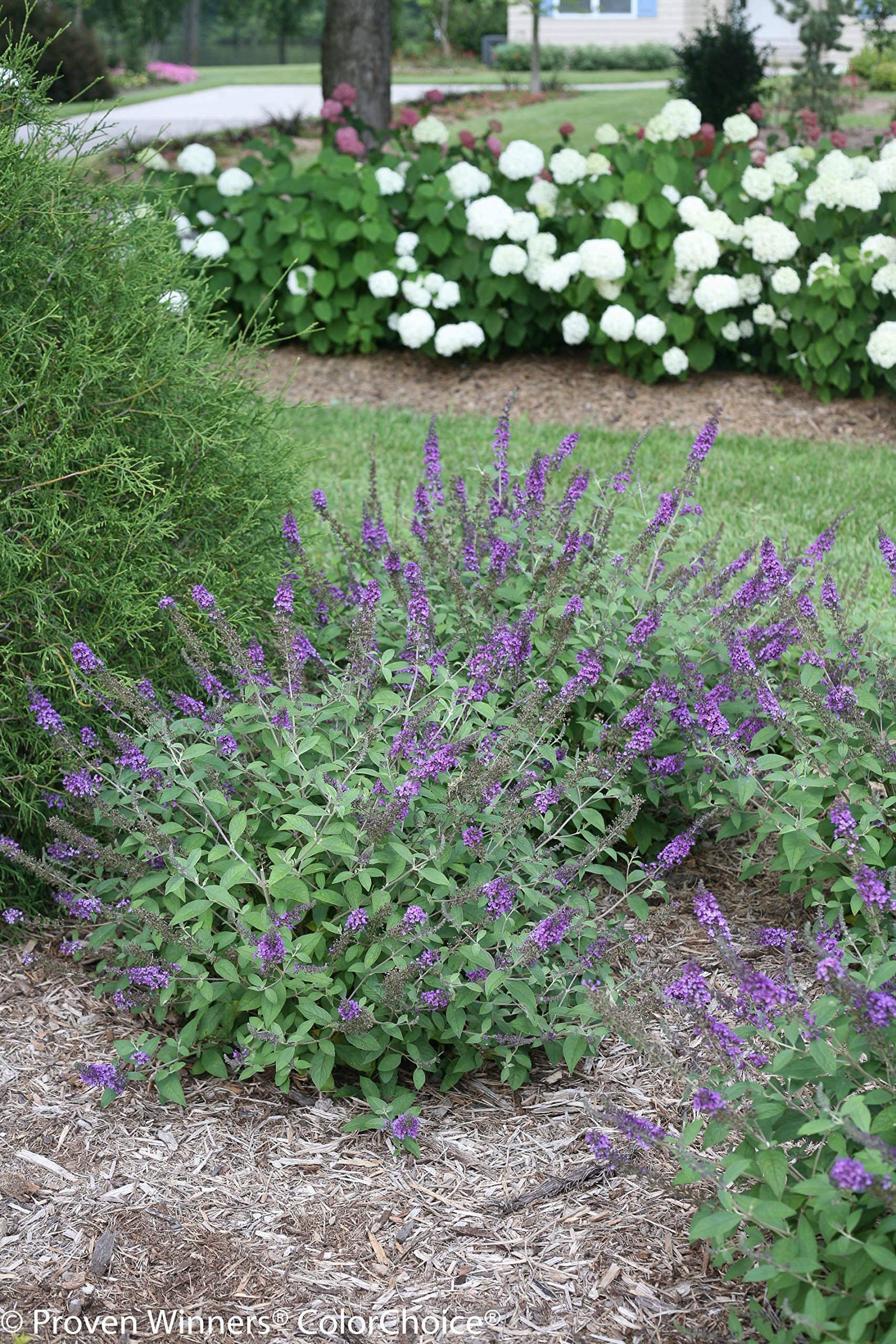 1 Gal. Lo & Behold 'Blue Chip Jr.' Butterfly Bush (Buddleia) Live Shrub, Blue-Purple Flowers by Proven Winners (Image #6)