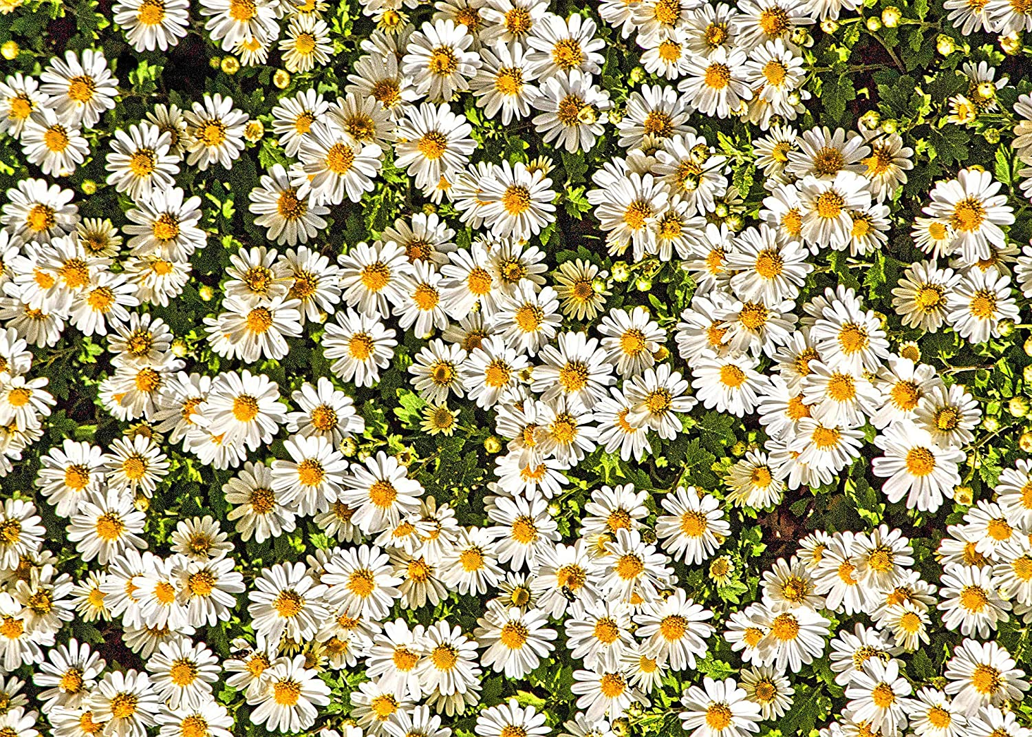 10x8ft Vinyl Beautiful Flower Background White Daisy Background for Childrens Birthday Party Wedding Travel Photography Background Spring Photography Background LYZY0475 for Party Decoration Birthday