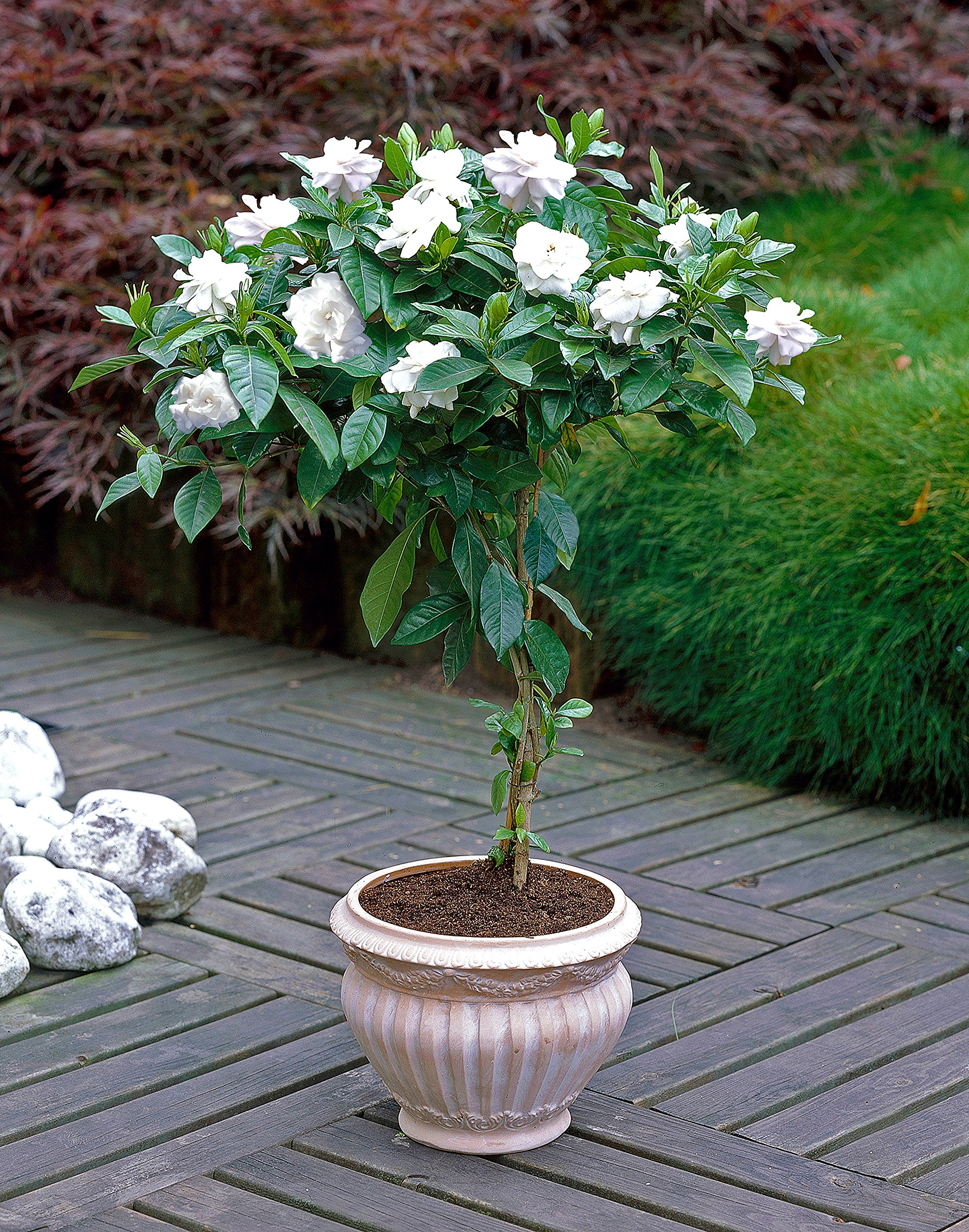 Double Blooming Gardenia Tree - Large Trees, Ready to Bloom 1st Year! - 3-4 ft. | No Shipping to AZ by Brighter Blooms (Image #2)