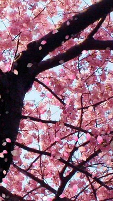 Sakura Cherry Blossom Live Wallpaper Amazones Appstore
